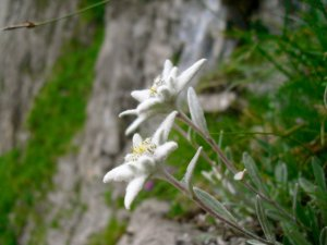 Edelweiss! Photo: Brett Milliken